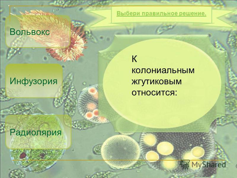 К колониальным жгутиковым относится: Вольвокс Радиолярия Выбери правильное решение. Инфузория