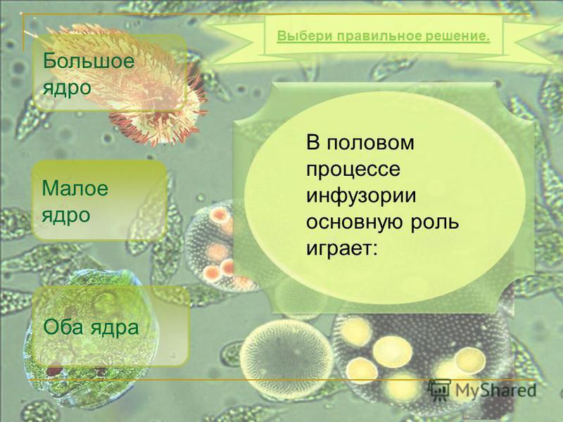 В половом процессе инфузории основную роль играет: Большое ядро Оба ядра Выбери правильное решение. Малое ядро