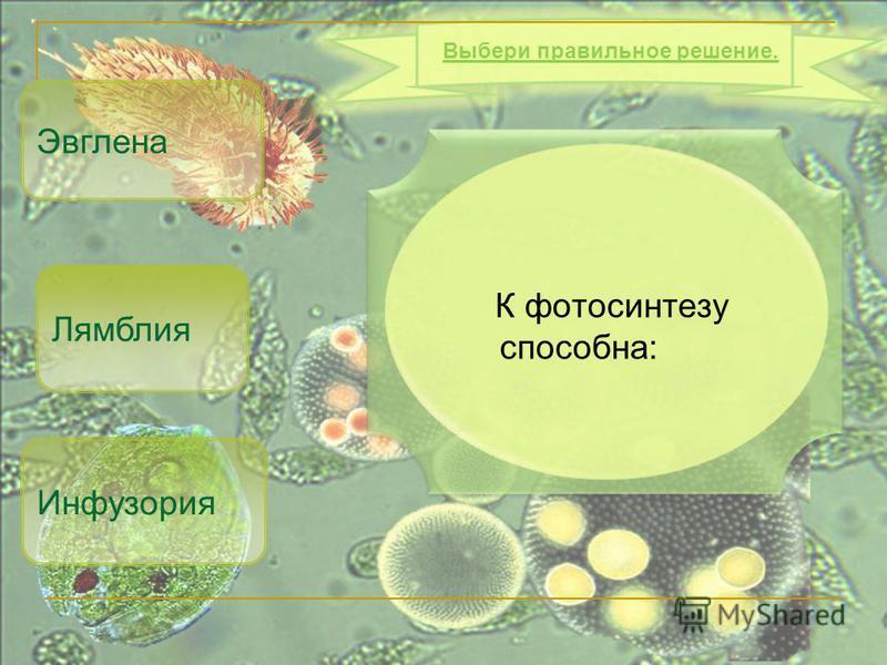 К фотосинтезу способна: Эвглена Инфузория Выбери правильное решение. Лямблия