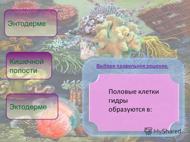 Половые клетки гидры образуются в: Эктодерме Энтодерме Выбери правильное решение. Кишечной полости