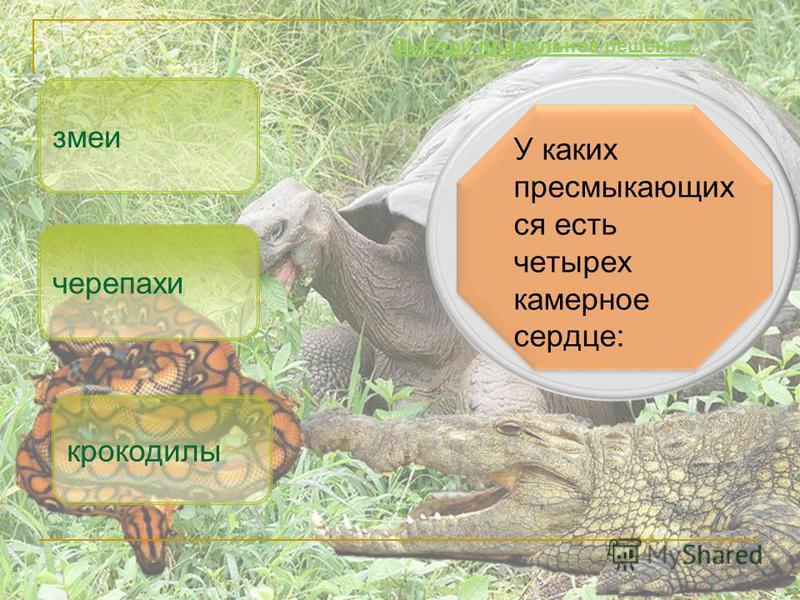 У каких пресмыкающихся есть четырех камерное сердце: крокодилы змеи Выбери правильное решение. черепахи