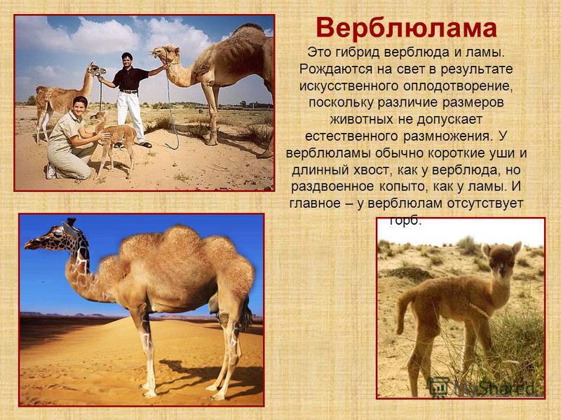 Верблюлама Это гибрид верблюда и ламы. Рождаются на свет в результате искусственного оплодотворение, поскольку различие размеров животных не допускает естественного размножения. У верблюдамы обычно короткие уши и длинный хвост, как у верблюда, но раз