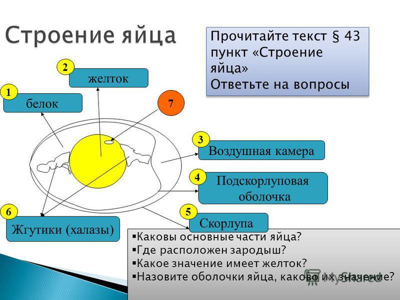 Строение яйца Прочитайте текст § 43 пункт «Строение яйца» Ответьте на вопросы Прочитайте текст § 43 пункт «Строение яйца» Ответьте на вопросы Каковы основные части яйца? Где расположен зародыш? Какое значение имеет желток? Назовите оболочки яйца, как