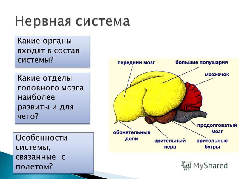 Особенности системы, связанные с полетом? Какие отделы головного мозга наиболее развиты и для чего?