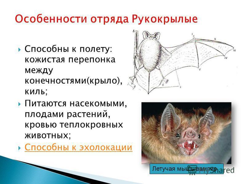 Способны к полету: кожистая перепонка между конечностями(крыло), киль; Питаются насекомыми, плодами растений, кровью теплокровных животных; Способны к эхолокации Летучая мышь-вампир