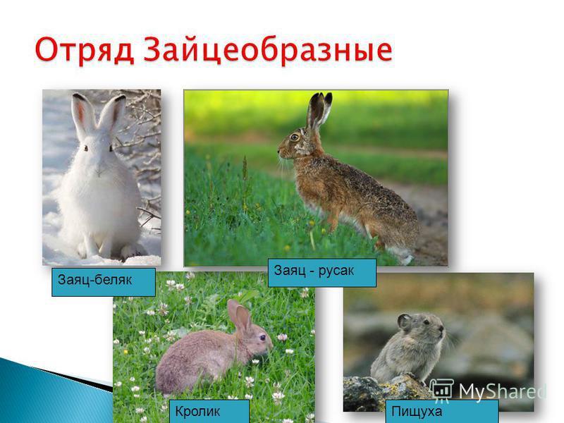 Заяц-беляк Заяц - русак Кролик Пищуха