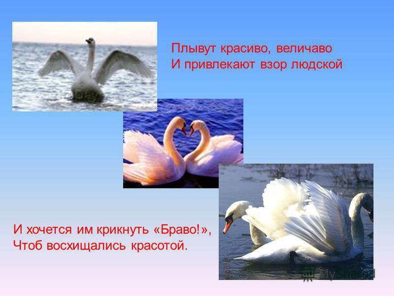 Плывут красиво, величаво И привлекают взор людской И хочется им крикнуть «Браво!», Чтоб восхищались красотой.