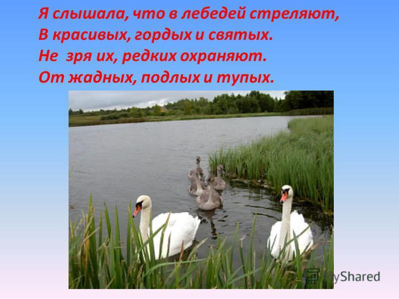 Я слышала, что в лебедей стреляют, В красивых, гордых и святых. Не зря их, редких охраняют. От жадных, подлых и тупых.