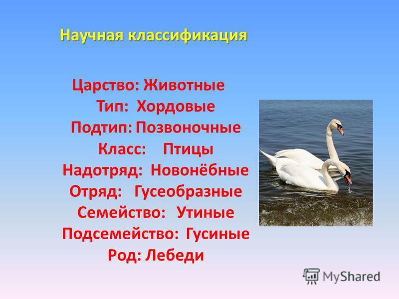 Научная классификация Царство: Животные Тип: Хордовые Подтип:Позвоночные Класс:Птицы Надотряд: Новонёбные Отряд:Гусеобразные Семейство: Утиные Подсемейство: Гусиные Род: Лебеди