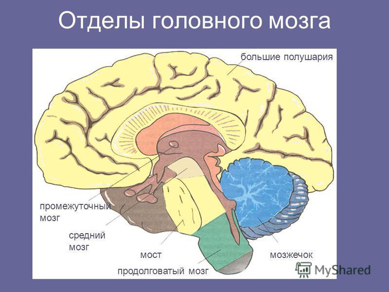 Отделы головного мозга большие полушария мозжечок мост продолговатый мозг средний мозг промежуточный мозг