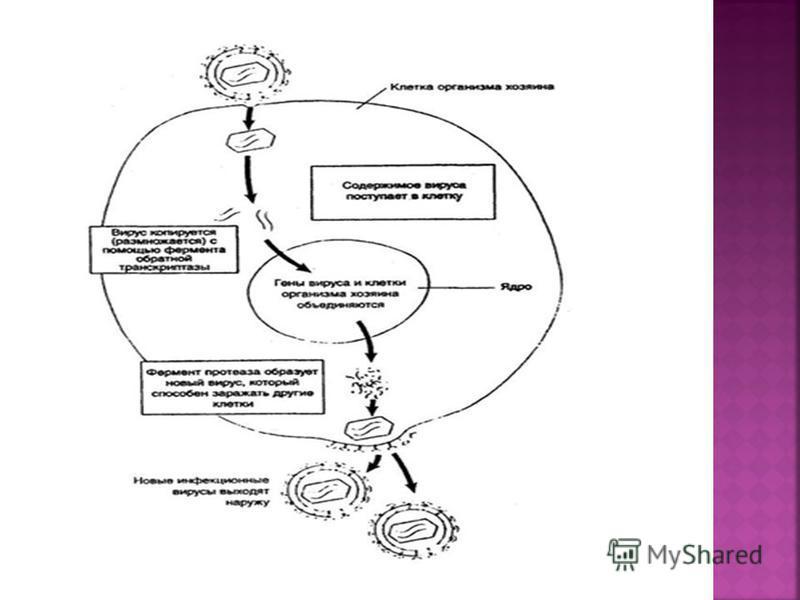 К факторам естественного иммунитета относят иммунные и неиммунные механизмы. К первым относятся гуморальные (система комплемента, лизоцим и др. белки). Ко вторым относятся барьеры (кожа, слизистая), секрет потовых, сальных, слюнных желез (содержит ра