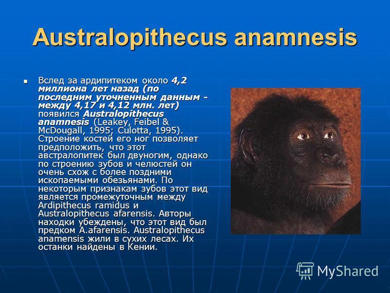 Australopithecus anamnesis Вслед за ардипитеком около 4,2 миллиона лет назад (по последним уточненным данным - между 4,17 и 4,12 млн. лет) появился Australopithecus anamnesis (Leakey, Feibel & McDougall, 1995; Culotta, 1995). Строение костей его ног