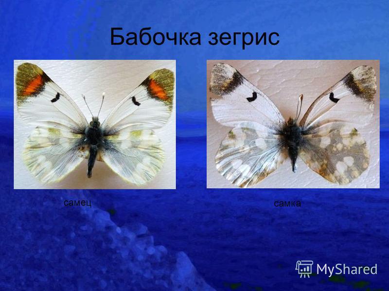 Бабочка зегрис самец самка
