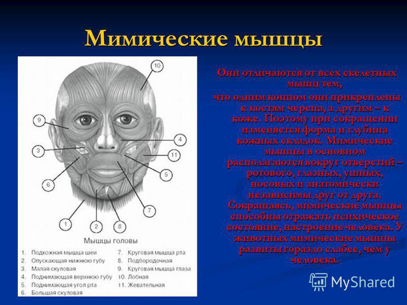 Мимические мышцы Они отличаются от всех скелетных мышц тем, что одним концом они прикреплены к костям черепа, а другим – к коже. Поэтому при сокращении изменяется форма и глубина кожных складок. Мимические мышцы в основном располагаются вокруг отверс