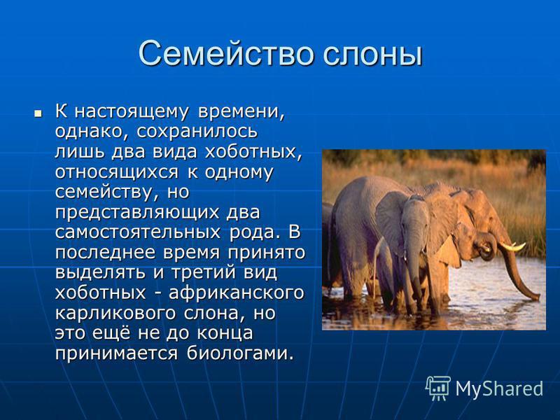 Семейство слоны К настоящему времени, однако, сохранилось лишь два вида хоботных, относящихся к одному семейству, но представляющих два самостоятельных рода. В последнее время принято выделять и третий вид хоботных - африканского карликового слона, н