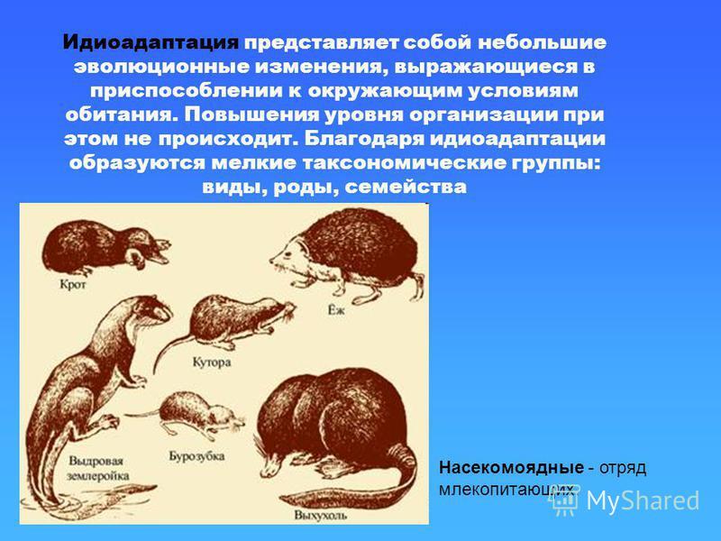 Идиоадаптация представляет собой небольшие эволюционные изменения, выражающиеся в приспособлении к окружающим условиям обитания. Повышения уровня организации при этом не происходит. Благодаря идиоадаптации образуются мелкие таксономические группы: ви