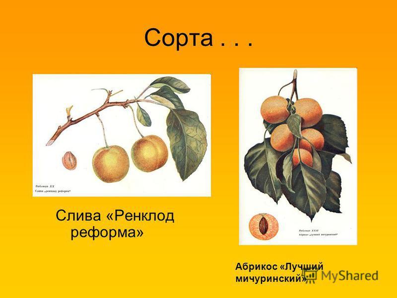 Сорта... Слива «Ренклод реформа» Абрикос «Лучший мичуринский»