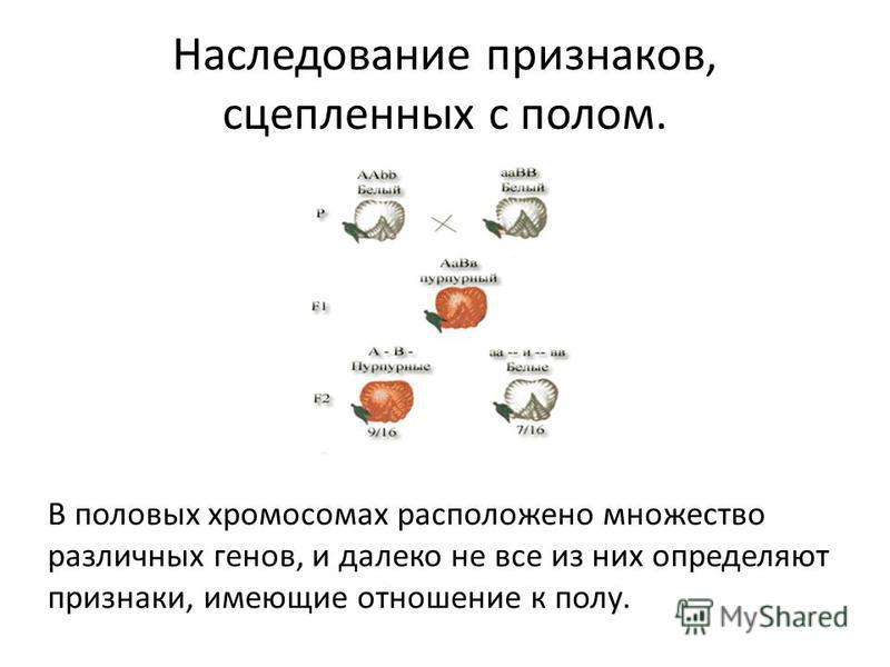 Наследование признаков, сцепленных с полом. В половых хромосомах расположено множество различных генов, и далеко не все из них определяют признаки, имеющие отношение к полу.