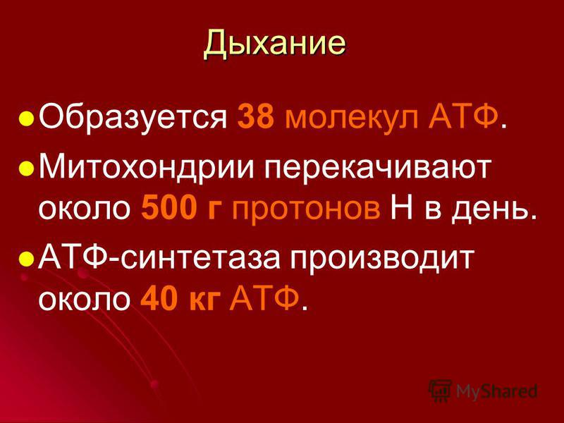 Образуется 38 молекул АТФ. Митохондрии перекачивают около 500 г протонов Н в день. АТФ-синтетаза производит около 40 кг АТФ. Дыхание