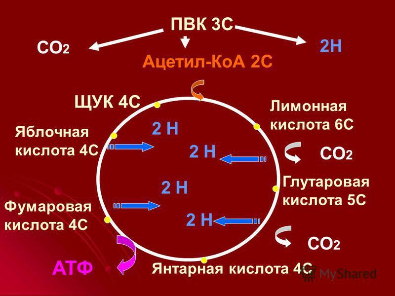 ПВК 3С Ацетил-КоА 2С Лимонная кислота 6С Глутаровая кислота 5С Янтарная кислота 4С Фумаровая кислота 4С Яблочная кислота 4С ЩУК 4С СО 2 2Н СО 2 2 Н АТФ