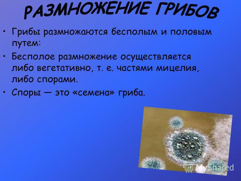 Грибы размножаются бесполым и половым путем: Бесполое размножение осуществляется либо вегетативно, т. е. частями мицелия, либо спорами. Споры это «семена» гриба.