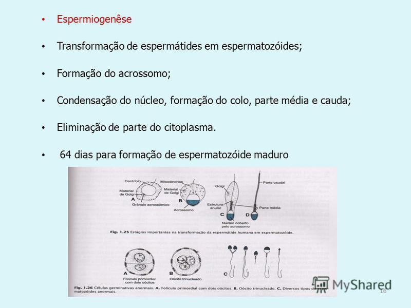 16 Espermiogenêse Transformação de espermátides em espermatozóides; Formação do acrossomo; Condensação do núcleo, formação do colo, parte média e cauda; Eliminação de parte do citoplasma. 64 dias para formação de espermatozóide maduro