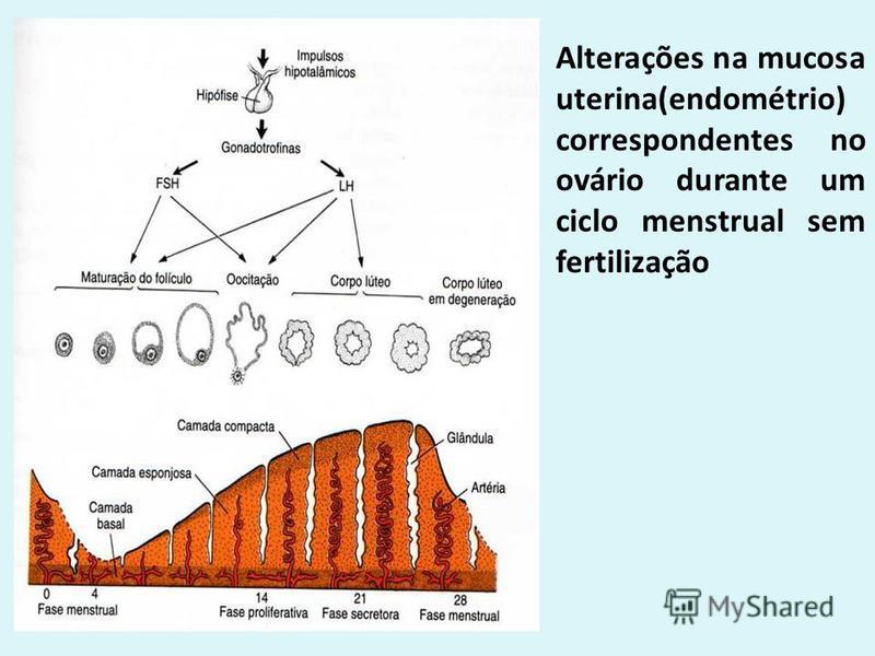 Alterações na mucosa uterina(endométrio) correspondentes no ovário durante um ciclo menstrual sem fertilização