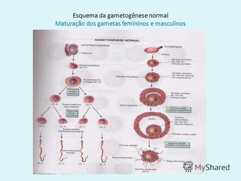 9 Esquema da gametogênese normal Maturação dos gametas femininos e masculinos