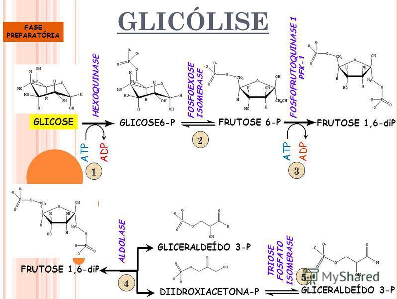 GLICÓLISE GLICOSE GLICOSE6-P ATP ADP HEXOQUINASE FOSFOEXOSE ISOMERASE 1 FRUTOSE 6-P ATP ADP FOSFOFRUTOQUINASE 1 PFK-1 FRUTOSE 1,6-diP 2 3 ALDOLASE DIIDROXIACETONA-P GLICERALDEÍDO 3-P TRIOSE FOSFATO ISOMERASE GLICERALDEÍDO 3-P 45 FASE PREPARATÓRIA