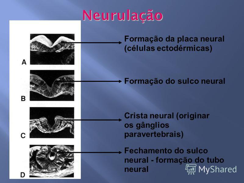Formação da placa neural (células ectodérmicas) Formação do sulco neural Crista neural (originar os gânglios paravertebrais) Fechamento do sulco neural - formação do tubo neural