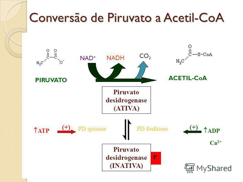 Conversão de Piruvato a Acetil-CoA Piruvato desidrogenase (INATIVA) P PD fosfatasePD quinase ATP (+) ADP (+) Ca 2+ NAD + Piruvato desidrogenase (ATIVA) PIRUVATO ACETIL-CoA NADH CO 2