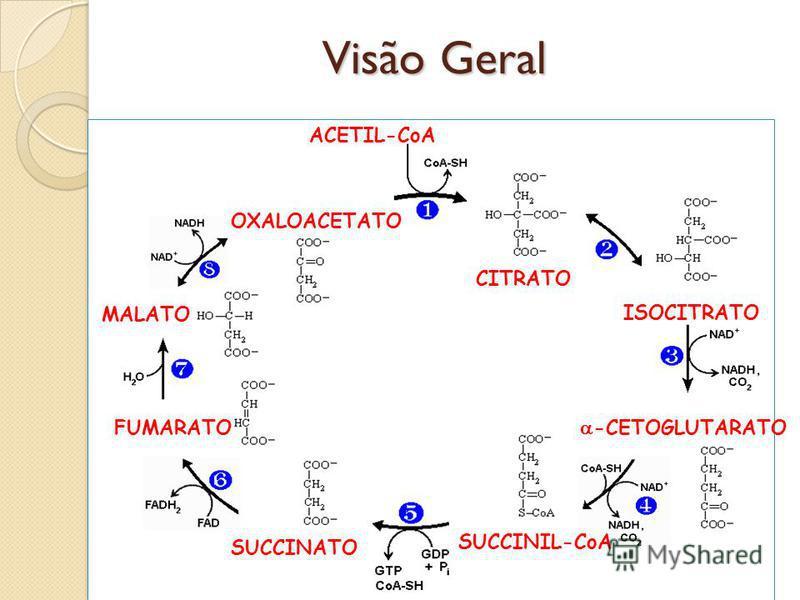 Visão Geral CITRATO ISOCITRATO -CETOGLUTARATO SUCCINIL-CoA SUCCINATO FUMARATO MALATO OXALOACETATO ACETIL-CoA