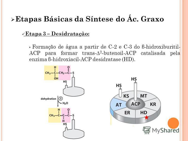 Etapas Básicas da Síntese do Ác. Graxo Etapa 3 – Desidratação: Formação de água a partir de C-2 e C-3 do β-hidroxiburitil- ACP para formar trans- 2 -butenoil-ACP catalisada pela enzima β-hidroxiacil-ACP desidratase (HD).