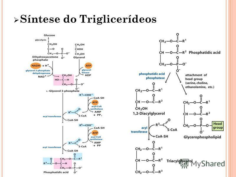 Síntese do Triglicerídeos