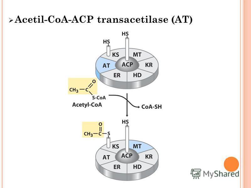 Acetil-CoA-ACP transacetilase (AT)