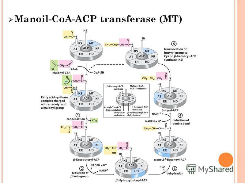 Manoil-CoA-ACP transferase (MT)