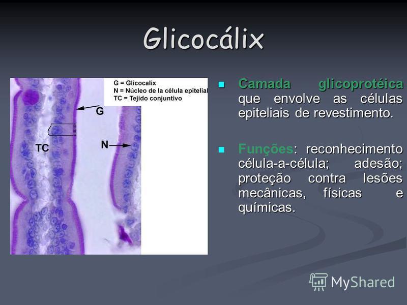 Glicocálix Camada glicoprotéica que envolve as células epiteliais de revestimento. Camada glicoprotéica que envolve as células epiteliais de revestimento. : reconhecimento célula-a-célula; adesão; proteção contra lesões mecânicas, físicas e químicas.