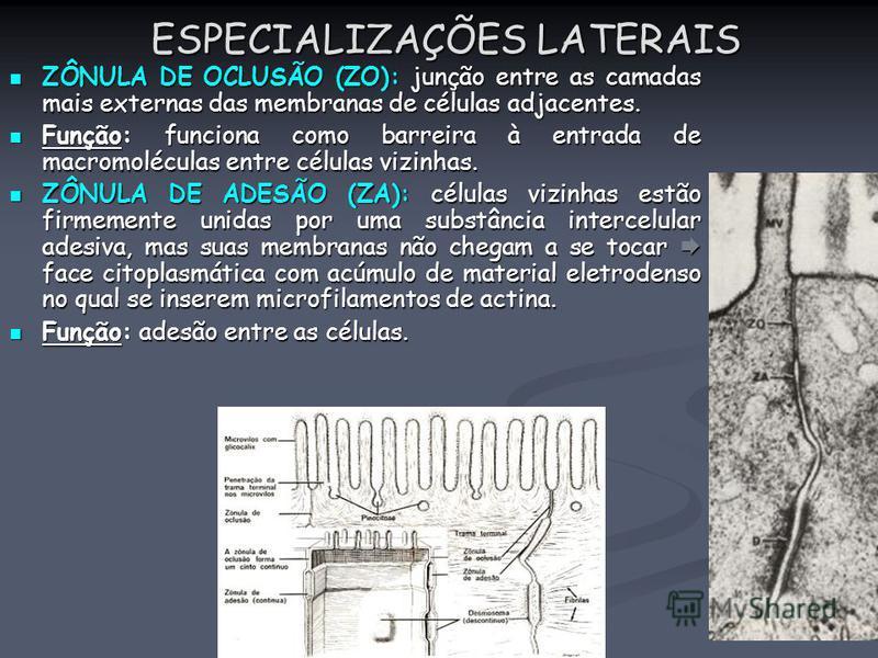 ESPECIALIZAÇÕES LATERAIS ZÔNULA DE OCLUSÃO (ZO): junção entre as camadas mais externas das membranas de células adjacentes. ZÔNULA DE OCLUSÃO (ZO): junção entre as camadas mais externas das membranas de células adjacentes. Função: funciona como barre