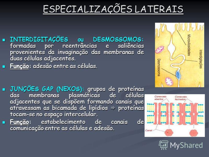 ESPECIALIZAÇÕES LATERAIS INTERDIGITAÇÕES ou DESMOSSOMOS: formadas por reentrâncias e saliências provenientes da invaginação das membranas de duas células adjacentes. INTERDIGITAÇÕES ou DESMOSSOMOS: formadas por reentrâncias e saliências provenientes