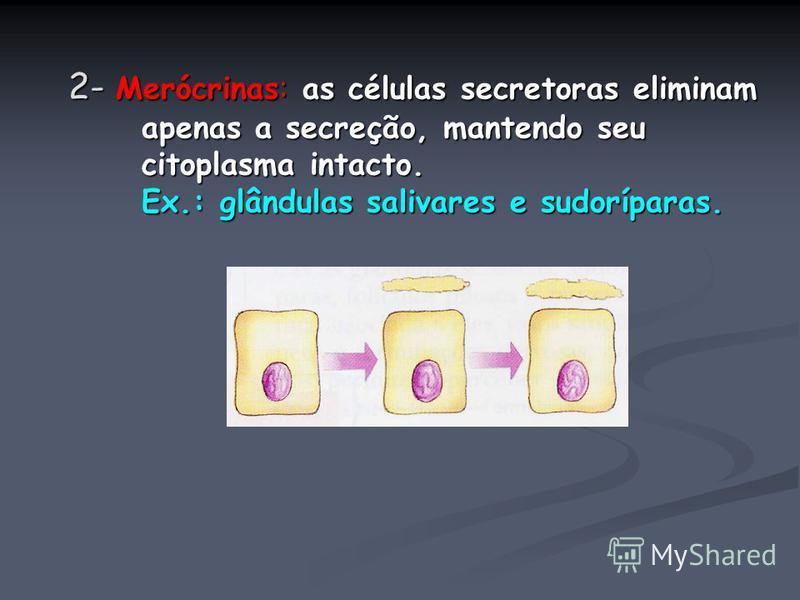 2- Merócrinas: as células secretoras eliminam apenas a secreção, mantendo seu citoplasma intacto. Ex.: glândulas salivares e sudoríparas.