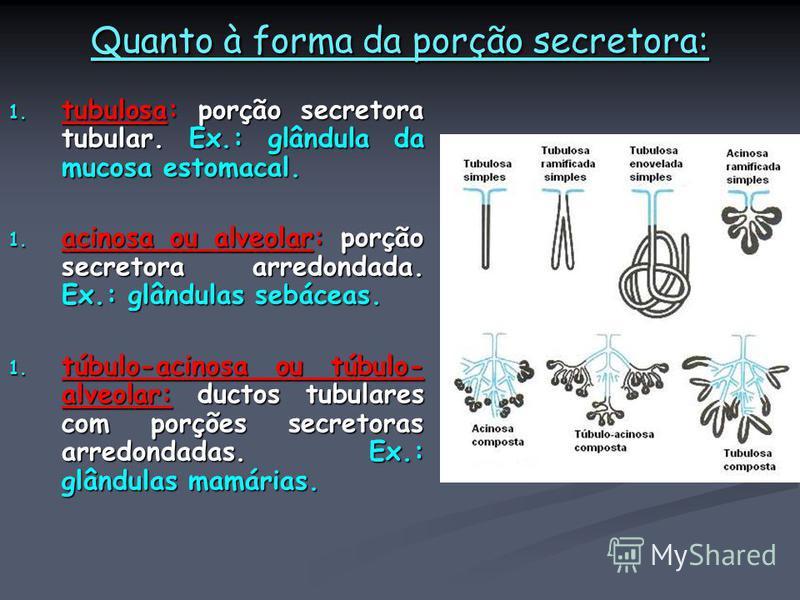 Quanto à forma da porção secretora: 1. tubulosa: porção secretora tubular. Ex.: glândula da mucosa estomacal. 1. acinosa ou alveolar: porção secretora arredondada. Ex.: glândulas sebáceas. 1. túbulo-acinosa ou túbulo- alveolar: ductos tubulares com p