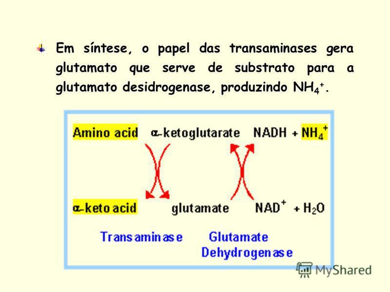 Em síntese, o papel das transaminases gera glutamato que serve de substrato para a glutamato desidrogenase, produzindo NH 4 +.