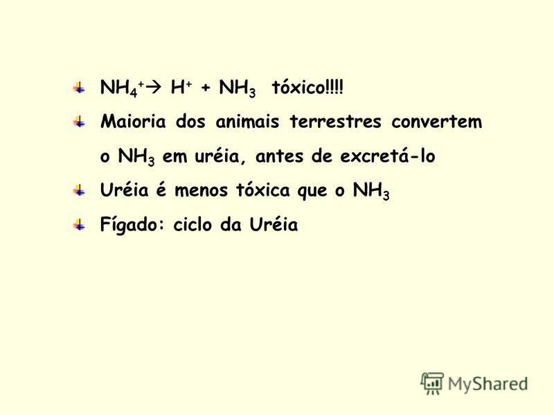 NH 4 + H + + NH 3 tóxico!!!! Maioria dos animais terrestres convertem o NH 3 em uréia, antes de excretá-lo Uréia é menos tóxica que o NH 3 Fígado: ciclo da Uréia