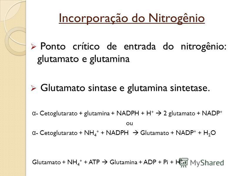 Incorporação do Nitrogênio Ponto crítico de entrada do nitrogênio: glutamato e glutamina Glutamato sintase e glutamina sintetase. α - Cetoglutarato + glutamina + NADPH + H + 2 glutamato + NADP + ou α - Cetoglutarato + NH 4 + + NADPH Glutamato + NADP