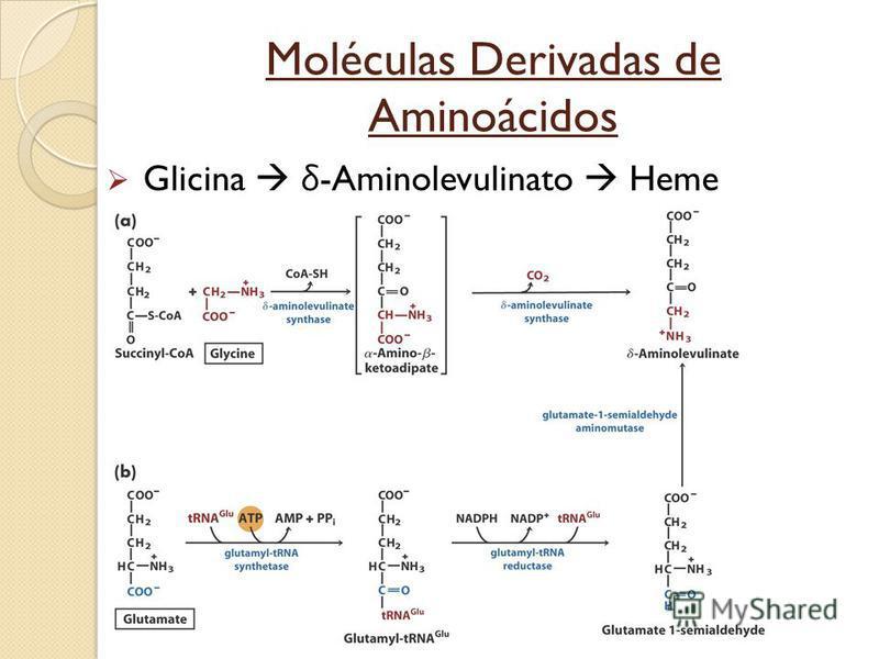 Moléculas Derivadas de Aminoácidos Glicina δ -Aminolevulinato Heme