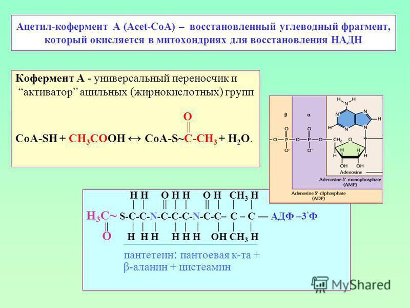 Ацетил-кофермент А (Acet-CoA) – восстановленный углеводный фрагмент, который окисляется в митохондриях для восстановления НАДН Кофермент А - универсальный переносчик и активатор ацильных (жирнокислотных) групп O || СоА-SH + CH 3 СOOH CoA-S~C-CH 3 + Н