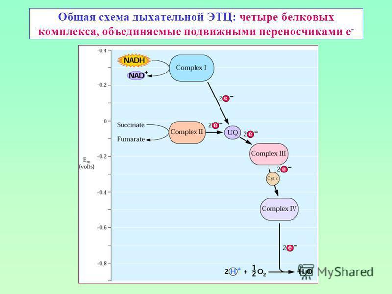 Общая схема дыхательной ЭТЦ: четыре белковых комплекса, объединяемые подвижными переносчиками е -