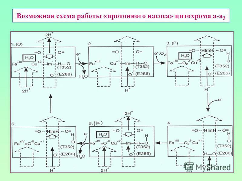 Возможная схема работы «протонного насоса» цитохрома а-а 3