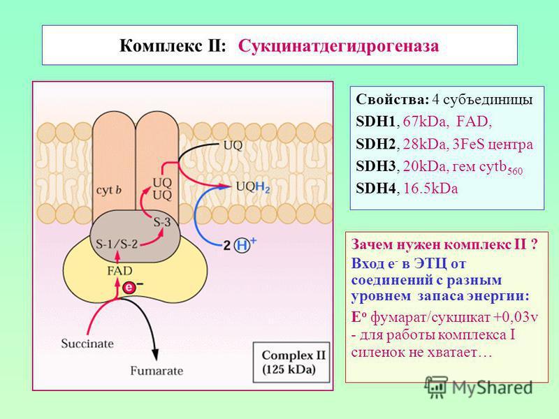 Комплекс II: Сукцинатдегидрогеназа Свойства: 4 субъединицы SDH1, 67kDa, FAD, SDH2, 28kDa, 3FeS центра SDH3, 20kDa, гем cytb 560 SDH4, 16.5kDa Зачем нужен комплекс II ? Вход е - в ЭТЦ от соединений с разным уровнем запаса энергии: E о фумарат/сукцинат
