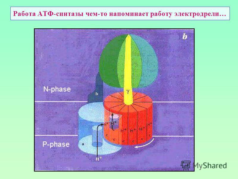 Работа АТФ-синтетазы чем-то напоминает работу электродрели…